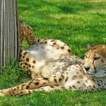 How Much Does Cheetah Cost